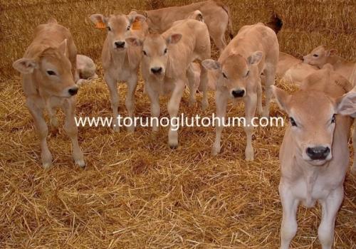 Piemontese (Piedmontese) Boğa Sperması Satışı