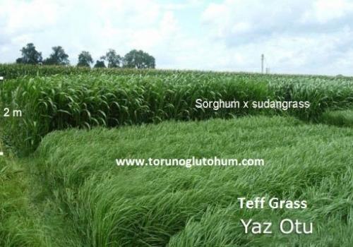 Teff Grass Yem Bitkisi