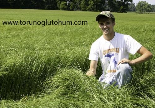 Teff Grass Otu Tohum Fiyatları