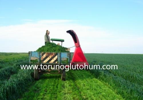 Ryegrass Tohumu